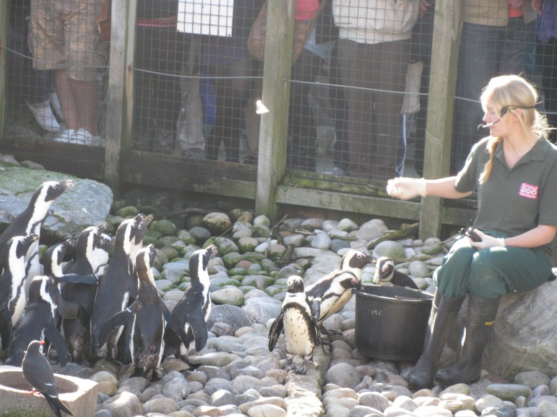 African Penguins being fed