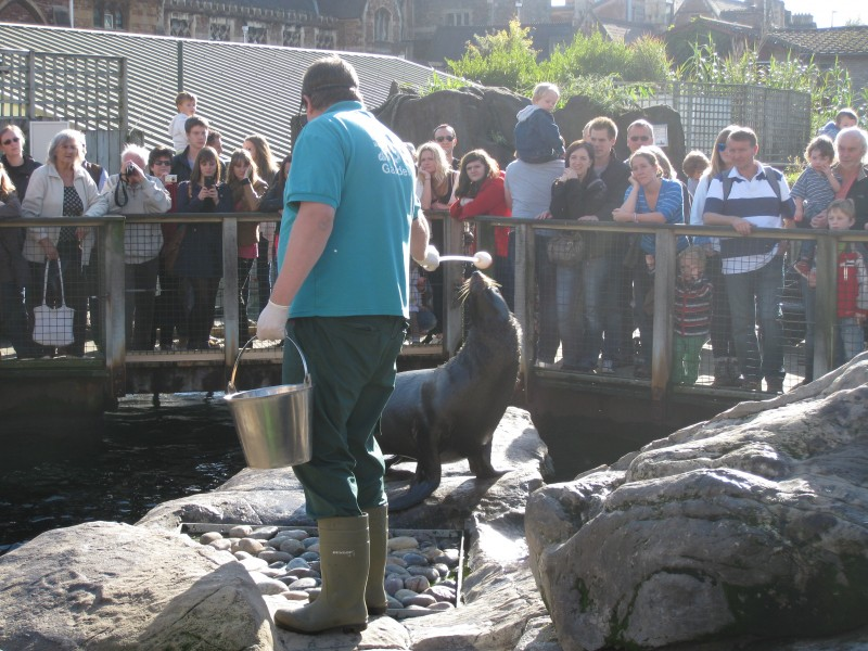 South American fur seals being fed