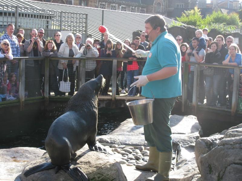 South American fur seal performing tricks