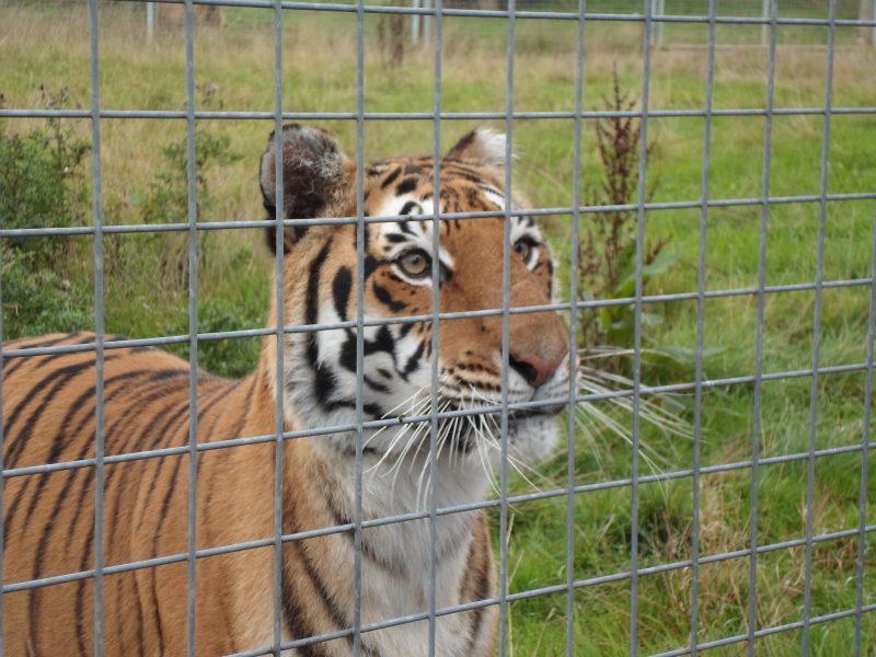 A beautiful Tiger!