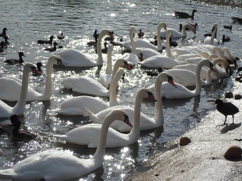 Swans waiting to be fed