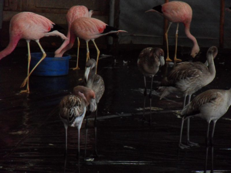 Flamingos in breeding house