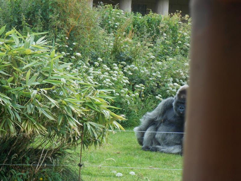 Silver backed Gorilla, part of, taken from the boat
