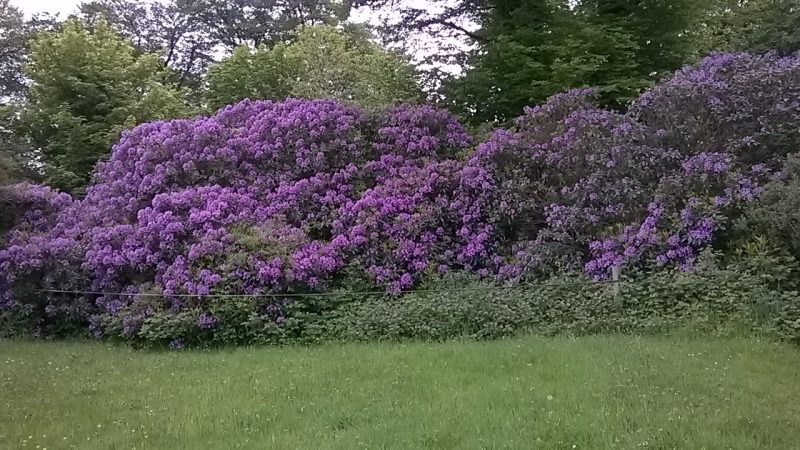 Beautiful rhododendruns in the hedgerow on our way into the forest across the road from the main Centre.
