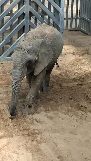 Janu has large ears. He does not have any visible tusks.