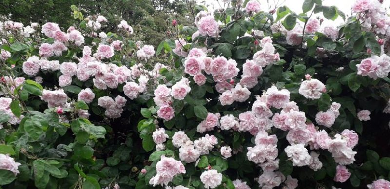 PERFUMED ROSES ALONG WALKWAY TO CASTLE