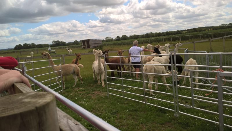 Kim putting the halters on the Alpacas in preparation for our walk